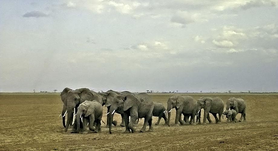 Africa Kenya Amboseli Elephants