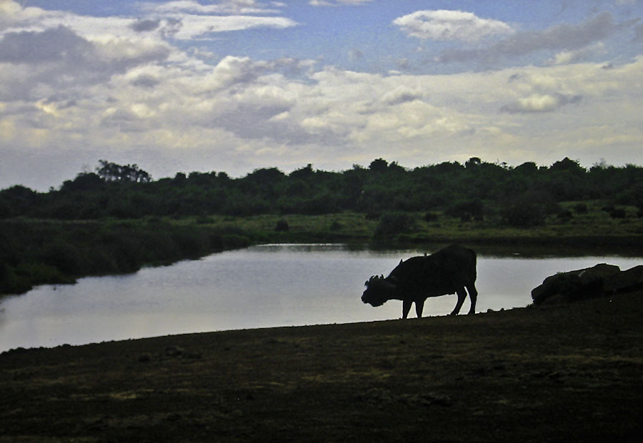 Africa Kenya Aberdare National Park The Ark Cape Buffalo