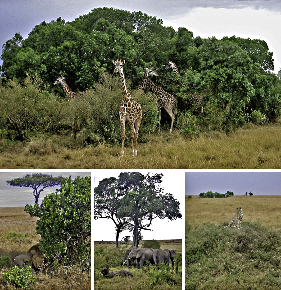 Africa Kenya Masai Mara lion Giraffe Elephant Cheetah