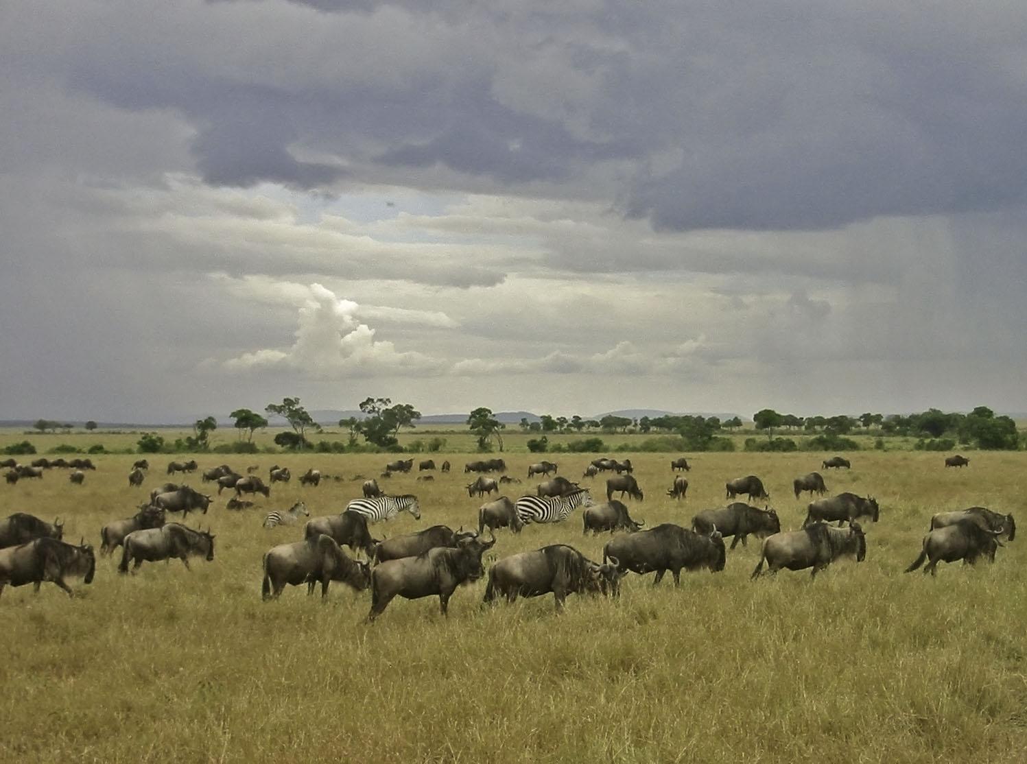 Africa Kenya Masai Mara Wildebeest Zebra