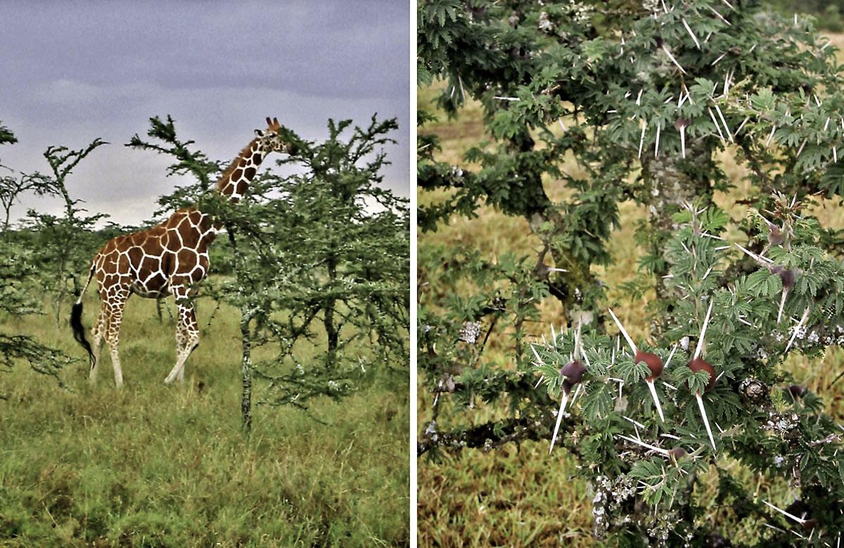 Africa Kenya Ol Pejeta Conservancy Giraffe Acacia
