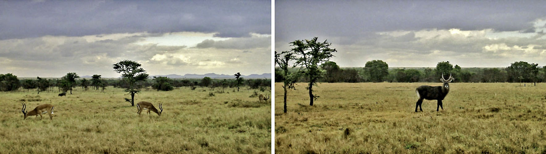 Africa Kenya Ol Pejeta Conservancy Impala Waterbuck
