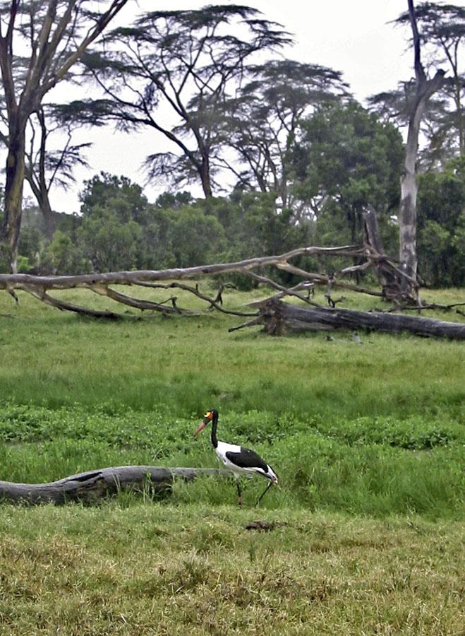 Africa Kenya Ol Pejeta Ranch Saddle-billed Stork