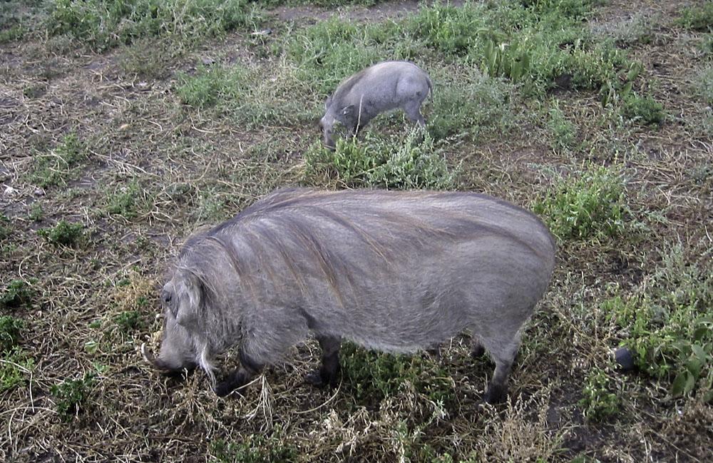 Africa Kenya Ol Pejeta Ranch Wart Hog